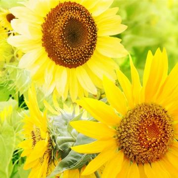 Prostírání Matějovský Sunflower